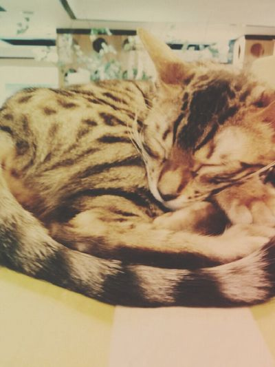 Sleep Cat Korea