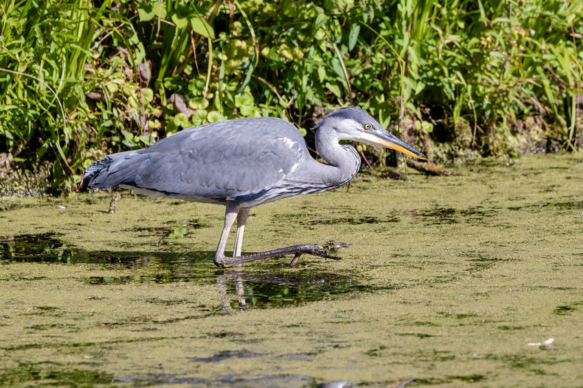 On the prowl. Fischreier Animal Animal Themes Animal Wildlife Animals In The Wild Bird Fischreiher Gray Heron Heron No People One Animal Side View Water Water Bird The Great Outdoors - 2018 EyeEm Awards Nature Great Blue Heron