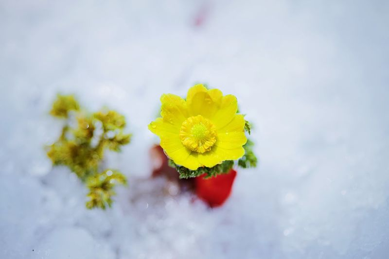 Amur adonis - pheasant's eye Flower Flowering Plant Freshness Plant Beauty In Nature Vulnerability  Yellow Close-up Nature No People