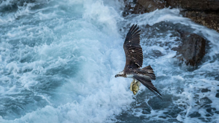 Osprey with supper Animal Themes Animal Wildlife Animals In The Wild Bald Eagle Bird Bird Of Prey Day Eagle - Bird Flying Nature No People One Animal Osprey  Outdoors Sea Spread Wings Water