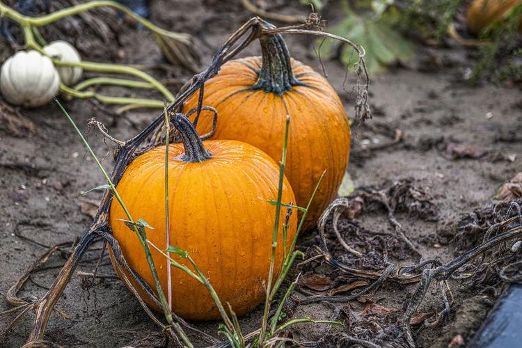 Close-up of pumpkin pumpkins on field during autumn