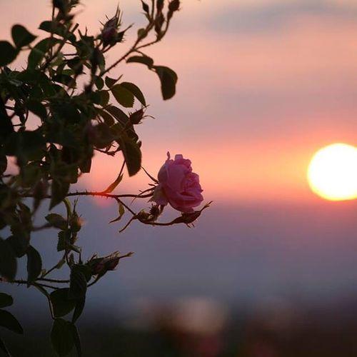 Damascene rose in rose valley, Bulgaria.