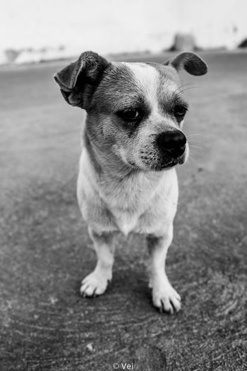 Dog Pets One Animal Domestic Animals Animal Themes Animal Mammal Outdoors Day No People Portrait Close-up Beagle