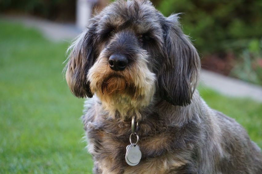 Dackel Animal Hair Animal Themes Close-up Day Dog Domestic Animals Focus On Foreground Grass Mammal Nature No People One Animal Outdoors Pet Collar Pets Portrait