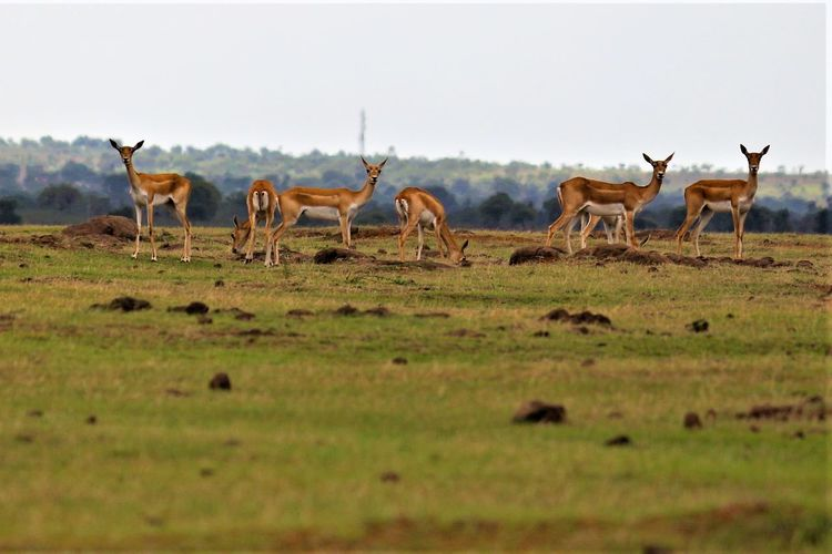 Animal Themes Animal Wildlife Animals In The Wild Antelope Day Grass Landscape Large Group Of Animals Mammal Nature No People Outdoors Safari Animals Sky Going Remote