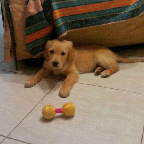 Goldenretriever Cute Dog Frida