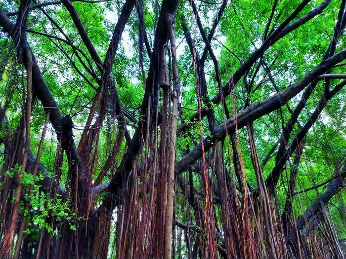 Tree Photography Tree View Low Angle View Banyan Banyan Tree Banyan Root Banyan Tree Roots Banyan Tree Trunk Beautiful Nature Beauty Of Nature Beauty Of Tree Tree In The Park The Park Big Tree Big Truck Nature Photography Tree In Nature Green Tree Green Trees Way In The Park Root Roots Roots Of Tree Root Of A Tree Root Of The Tree Root Of Tree Root Of Banyan Tree Tree Tree Trunk Green Color