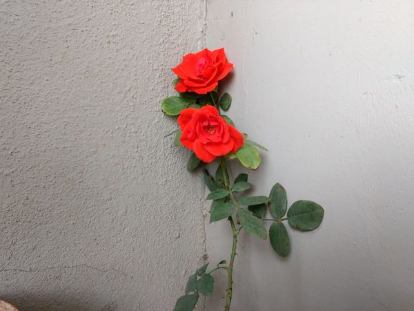 Red Roses Green Leaves Thorns Rose Plant White Wall Crack Wall MoTo G4 Natural Beauty OO Mission Fine Art Photography Showcase July Colour Of Life