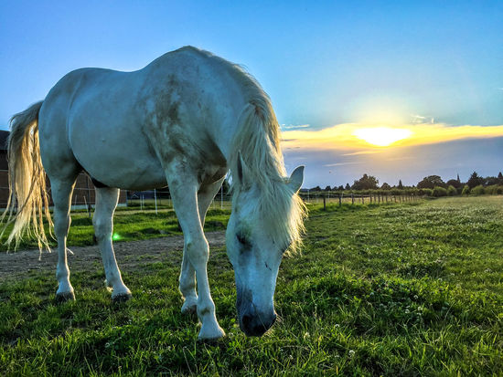 Axel & Boris Beauty In Nature Blue Blue Sky And Sunset Cloud Cloud - Sky Day Field Grass Grassy Grazing Green Color Herbivorous Horse Landscape Livestock Nature No People Outdoors Rural Scene Sky Sunlight Sunset Tranquil Scene White Horse