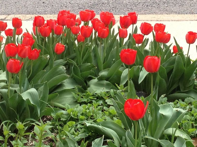 Red Tulips Red And Green Spring Flowers