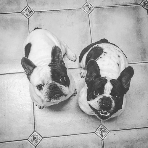 2 stupid dogs 😂 Bonnie&Clyde Frenchies Frenchbulldog Blackandwhite Blackandwhite Photography ShotOniPhone6