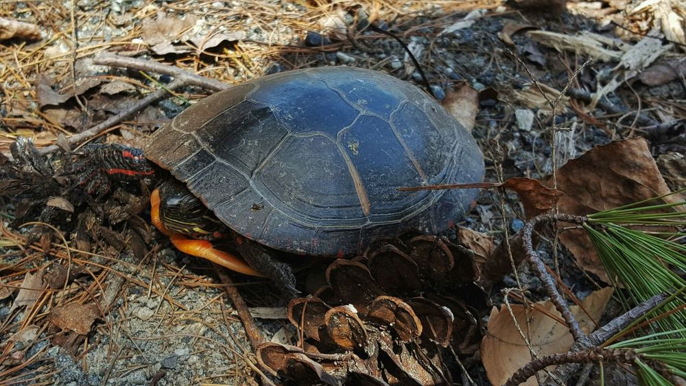 Turtle 🐢 Reptile Photography Painted Turtle Close-up Nature Day No People Animals In The Wild Animal Themes Outdoors Pine Cone
