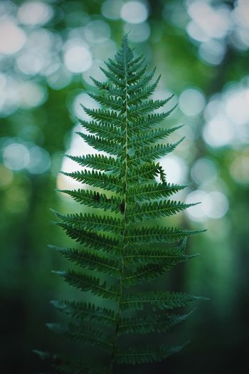 fern of the woods Beauty Fragile Summer Focus Detail Wanderlust Adventure Hiking Botanical Bokeh Fern Sony A6000 Sony Vscocam VSCO Plant Green Color Nature Leaf Growth Close-up No People Plant Part Beauty In Nature Day Tree Selective Focus Focus On Foreground Freshness Outdoors