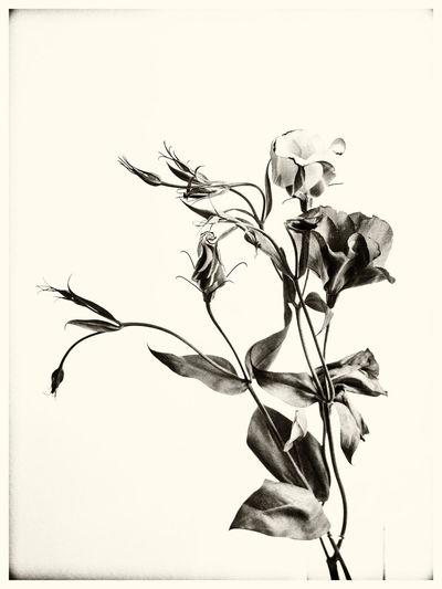 Abstract Blooming Blossom Flower Flower Head Fragility Freshness In Bloom Monochrome Stem Studio Shot White Background