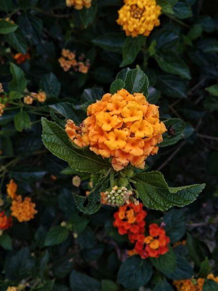 Nature Love Yellow Flower Flowerat UttarPradesh India The Great Outdoors With Adobe The Great Outdoors - 2016 EyeEm Awardswith Lenovo A6000