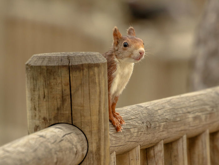 Rodent Wood -