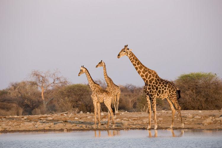 Giraffes at a waterhole in Etosha National Park, Namibia Africa Animal Animal Themes Animal Wildlife Animals In The Wild Day Girrafes Group Of Animals Hoofed Mammal Mammal Namibia Nature No People Outdoors Safari Safari Animals