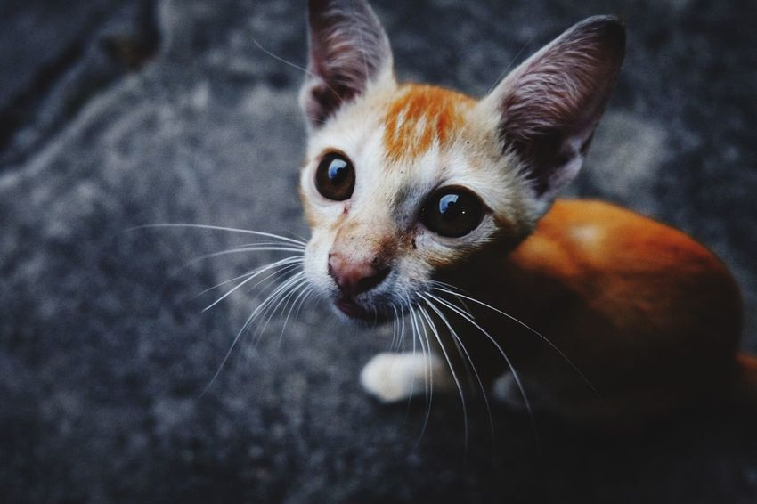 Orange cat Cat Feline Whisker Domestic Cat Domestic Animals Vertebrate Close-up Looking At Camera Portrait Indoors  Looking Animal Body Part No People Focus On Foreground