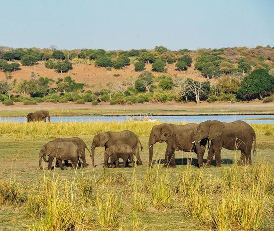 Big Five African Elephants Group Of Elephants Family Ilovemylife Hello World Africa Chobenationalpark Chobe Safari Safari Animals Vocation Photo Travel Love Sunset BOTSWANA Chobe Botswana Nature Photography Natural Paradise Sunny Day