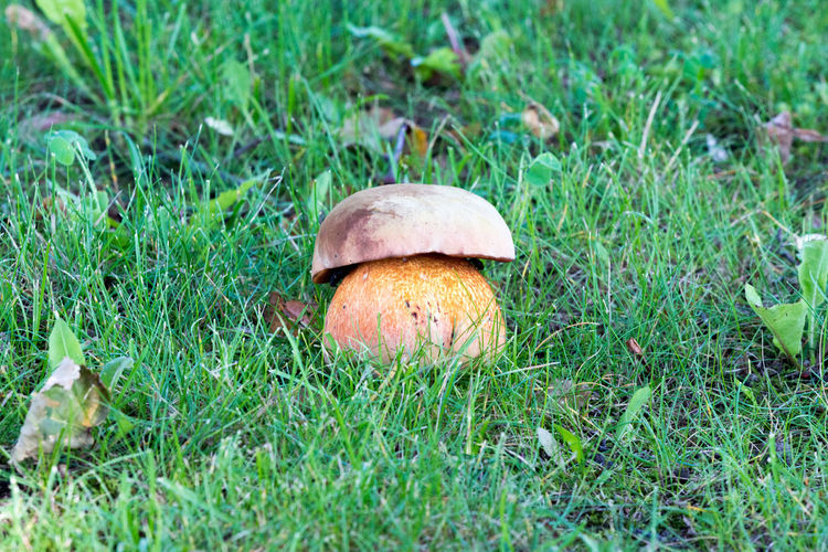 Close-up Day Edible Mushroom Field Food Food And Drink Freshness Fungus Grass Green Color Growth Land Mushrom Mushroom Nature No People Plant Selective Focus Surface Level Vegetable Wild
