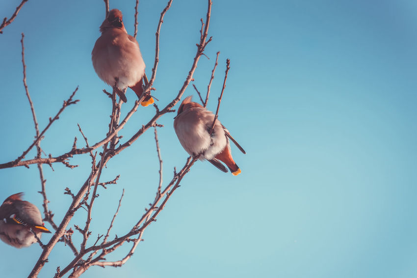 Animal Animal Themes Animal Wildlife Animals In The Wild Bird Blue Branch Clear Sky Day Group Of Animals Low Angle View Nature No People Perching Plant Sky Tree Twig Two Animals Vertebrate Waxwing Waxwings