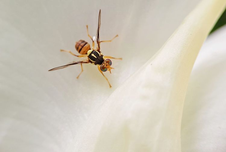 Oriental Fruit Fly Fruit Fly Insect White Flower Close-up Nature Bactrocera Dorsalis Hendel