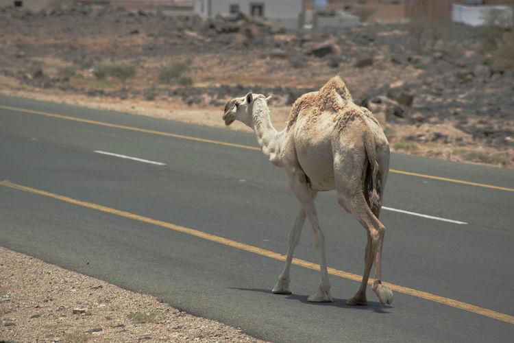 Camel African