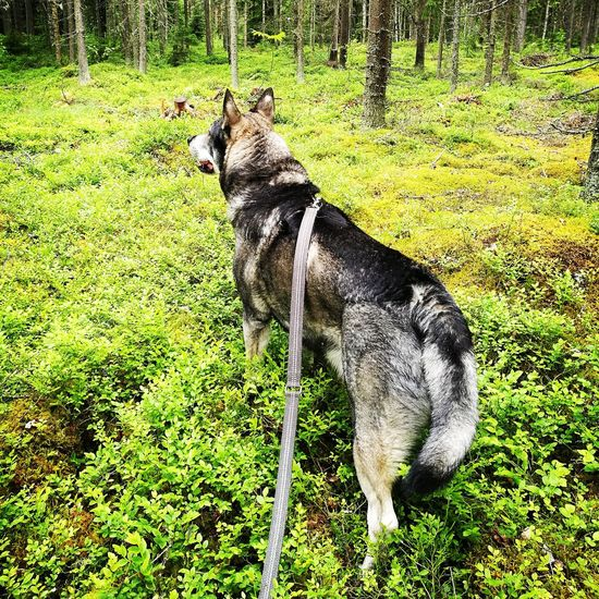 Animal Themes Dog Humans Best Friend Forest Photography No People Guardian Protecting Where We Play And Live Jämthund