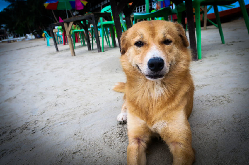 Daily Project El Nido, Palawan Palawan Philippines Dog Looking At Camera Animal Themes Portrait Close-up Taking Photos Enjoy The New Normal Selfies Beach EyeEm Gallery Smile Dog Selfie Dog Portrait One Animal Dogs Animal Sand Close Up Always Be Cozy My Year My View