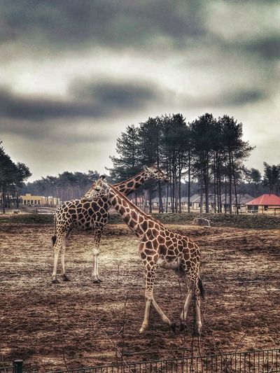 Animal Wildlife Muddy Grass Bungalows Threes Safari Animals Hilvarenbeek Beekse Bergen Sky And Clouds Giraffe Day Outdoors
