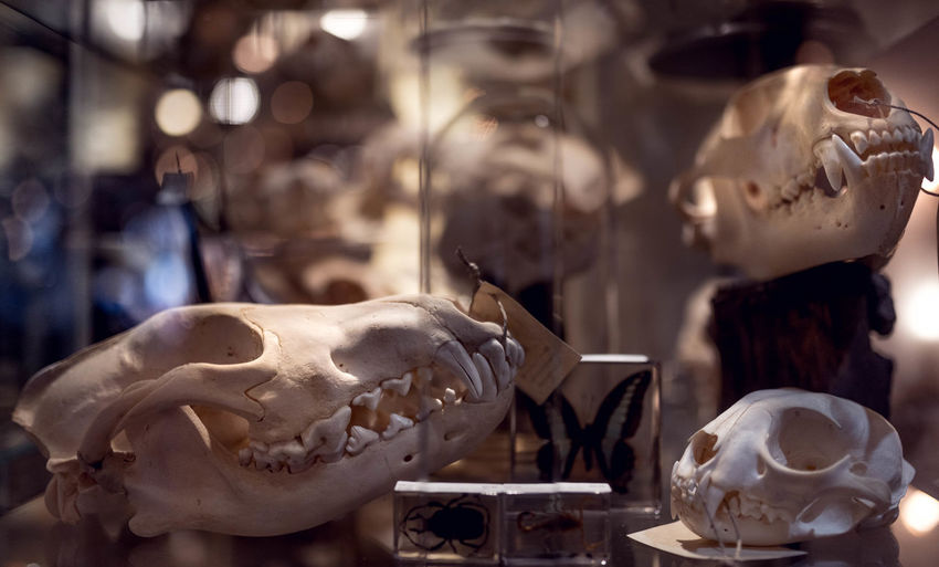 Close-up of human skull in store
