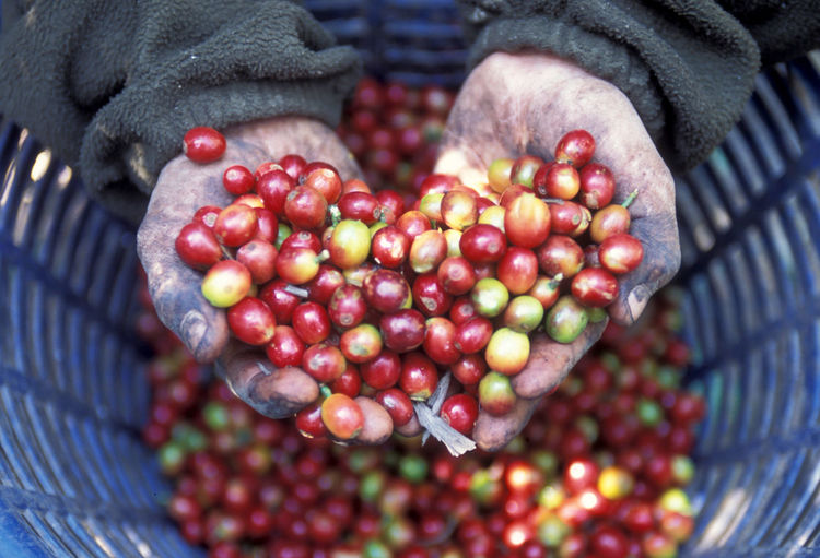Cropped image of messy hands holding raw coffee beans