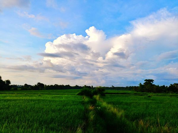 Agriculture Field Nature Tree Cloud - Sky Landscape Crop  Scenics Rural Scene Sky Plant Growth Freshness Green Color Beauty In Nature No People Rice Paddy Lgv20 Mobile Photography Eyeem Philippines Mobilephotography Lgv20photography Ricefields