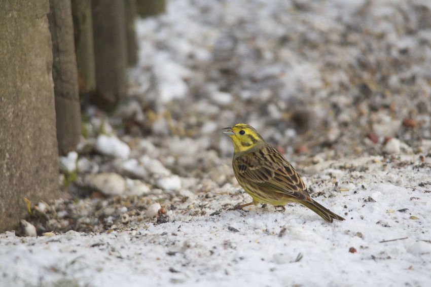 a yellowhammer runs freezing through the snow at a feeding place in the forest, looking for food Animal Themes Animal Wildlife Animals In The Wild Bird Close-up Day Nature No People One Animal Outdoors Perching Sparrow
