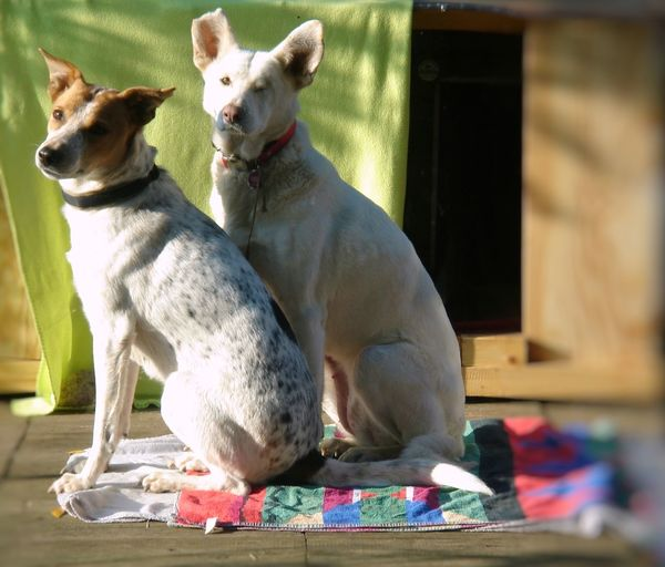 These two went through hell, together. Now they live in peace and love, together. They are two wonderful souls, giving it back a thousand times! Animal Themes AntiM Close-up Day Dog Dogs Portrait Dogs Posing Domestic Animals Home Interior Indoors  Mammal No People Outdoors Pets Two Dogs