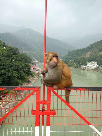 LaxmanJhula Rishikesh Monkey Baboon Bridge India Water One Animal Outdoors Indian Ganga River Colorful India