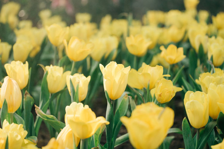Backgrounds Blur EyeEm Flower Flower Collection Flowers,Plants & Garden Focus On Foreground Green Color Tulips Yellow