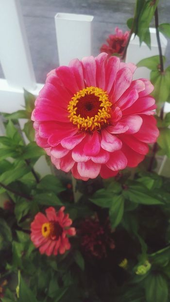 2 in 1 Flower Petal Flower Head Pink Color Fragility Beauty In Nature Nature Plant Freshness No People Peony  Outdoors Day Red Close-up Summer Growth Zinnia  Flowers_collection Nature_collection Inside A Flower Blooming Stand Alone Beauty