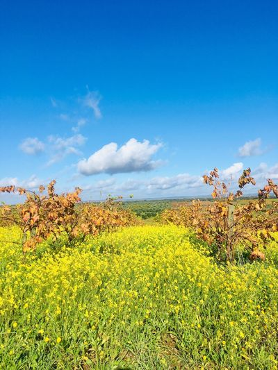 Vineyard and yellow flowers at south of Portugal Landscape Rows Alentejo 🌞 Portugal Autumn colors Vineyard Plant Sky Beauty In Nature Growth Tranquility Flower Yellow
