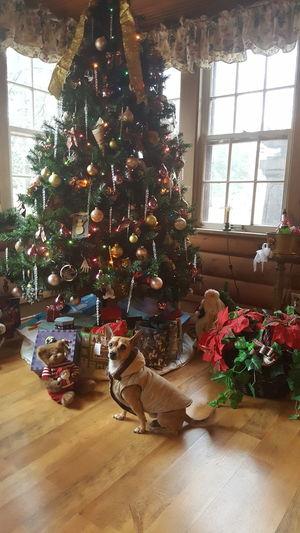 Christmas Dogs Of EyeEm Dogslife Dog❤ Doglife Chihuahua Mydogisthebestintheworld Mydogiscoolerthanyourkids Fontana WI Ilovemydog Doggy My Pet Pet Photography  Dogofeyeem DogLove Dogoftheday Peanut Petlove  Holiday Moments