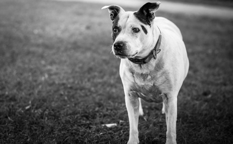 Doggy Dog Pets Animal Themes One Animal Domestic Animals Mammal Focus On Foreground Grass Outdoors Pet Collar Day Field No People Pit Bull Terrier Portrait Weimaraner Nature Close-up Pet Portraits
