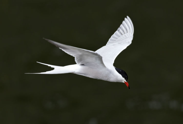 common tern searching for fish Seagull Animal Wing Freedom Outdoors White Focus On Foreground Day Nature White Color Motion Mid-air No People One Animal Vertebrate Spread Wings Animal Animal Themes Animal Wildlife Animals In The Wild Bird Flying Tern Common Tern Fishing