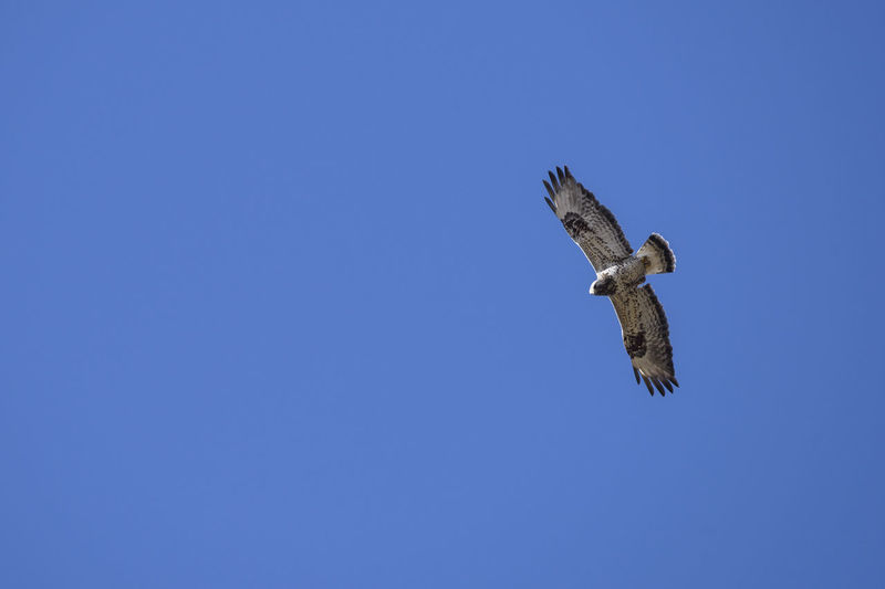 Low angle view of rough-legged buzzard flying in clear blue sky
