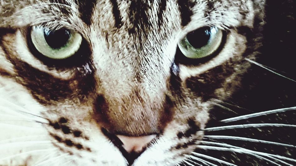 Animal Eye Cats 🐱 Feline Looking At Camera Mammal No People Animal Themes Silver Obs Stare Back At You... Nature Portrait First Eyeem Photo