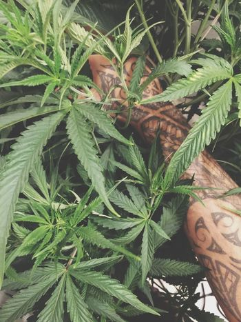 Tribal Poly Sleeve Highlife Stoned Inkedup Inked Selfmade IPhoneography Homie Huff Fresh On EyeEm Iphone 6 Plus IPhone Tattoos Tattoo Tattooartist  Fire All Around Artist Potent Green Gonja Dank Growing Plants Plants And Flowers Marijuana Plant Marijuanaphotosubmission