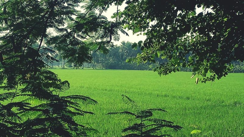 Nature Outdoors Beauty In Nature Field Freshness No People Beautiful View Rice Paddy Agriculture