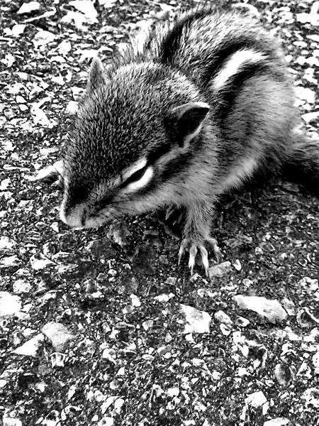 Animal Themes Animals In The Wild Blackandwhite Chimpmunk Close-up Day Mammal Nature No People One Animal Outdoors