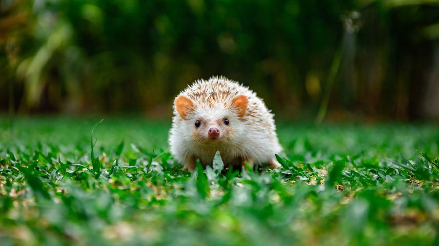 Portrait of hedgehog on field