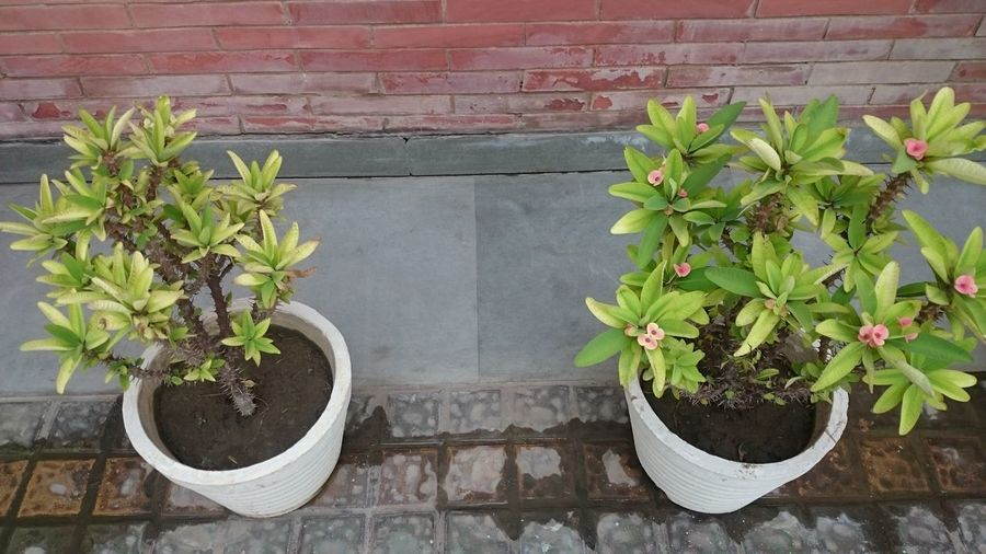 A couple of plants, in white painted pots, kept as part of outdoor decoration outside a building Beauty In Nature Cement Pot Greenery Growing Leaf Nature Ornamental Plant Outdoor Decoration Outdoors Plant Plant Plants Pot Potted Plant