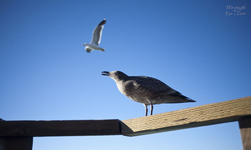 Low angle view of seagull perching against clear blue sky